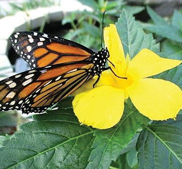 ufifas extension in santa rosa county will offer a class on butterflies and butterfly gardening the class is free to attend without pre registration and - Uf Butterfly Garden